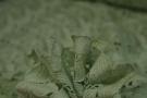 Spitzenborte - lindgrün, 65 cm